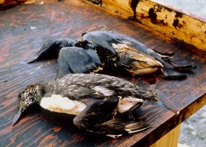 Birds killed as a result of oil from the Exxon Valdez spill. Photo courtesy of the Exxon Valdez Oil Spill Trustee Council via Wikimedia Commons.