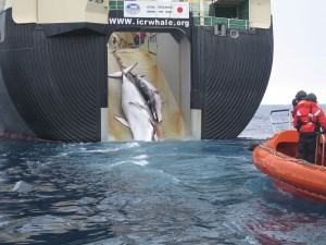A Minke whale and her 1-year-old calf are dragged aboard the Nisshin Maru, a Japanese whaling vessel that is the world's only factory ship. The wound that is visible on the calf's side was reportedly caused by an explosive-packed harpoon. This image was taken by Australian customs agents in 2008, under a surveillance effort to collect evidence of indiscriminate harvesting, which is contrary to Japan's claim that they are collecting the whales for the purpose of scientific research. In 2010, Australia filed a lawsuit in the International Court of Justice hoping to halt Japanese whaling; this photograph undoubtedly played a key role in winning that case. Australian Customs and Border Protection Service [CC-BY-SA-3.0-au (http://creativecommons.org/licenses/by-sa/3.0/au/deed.en)], via Wikimedia Commons