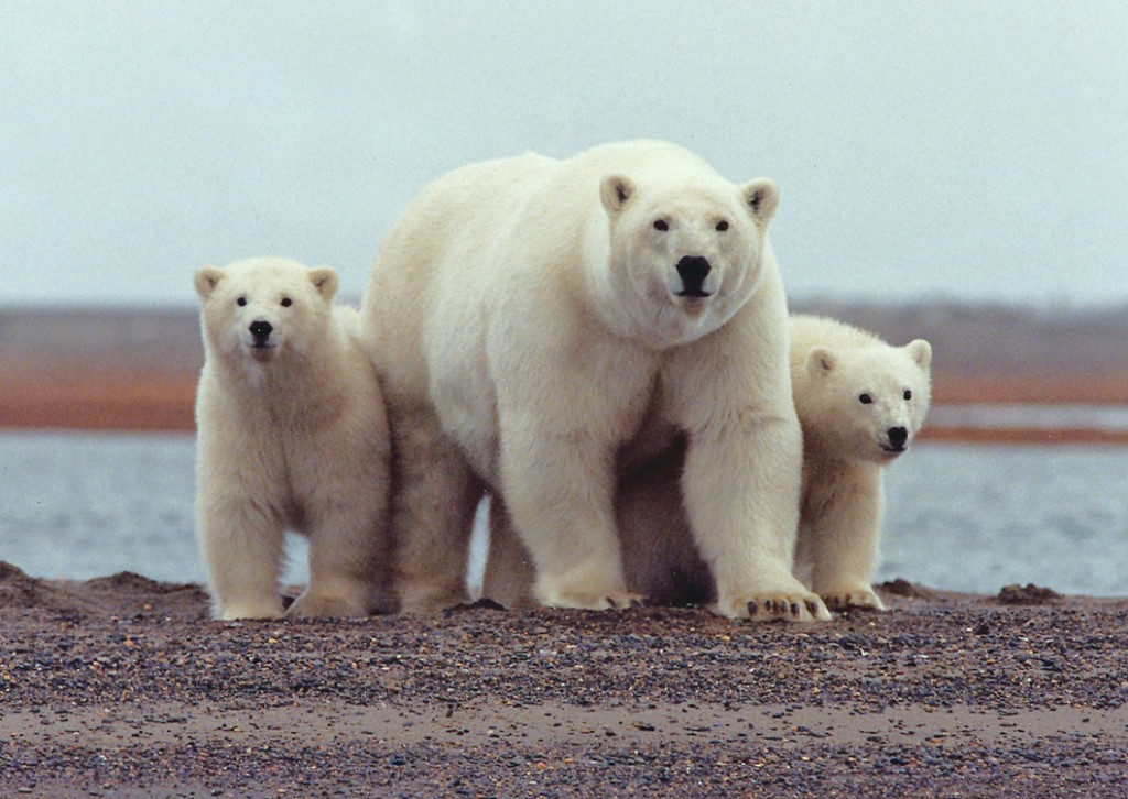 A polar bear keeps close to her young along the Beaufort Sea coast in Arctic National Wildlife Refuge. (Susanne Miller/USFWS) Image via Wikimedia.