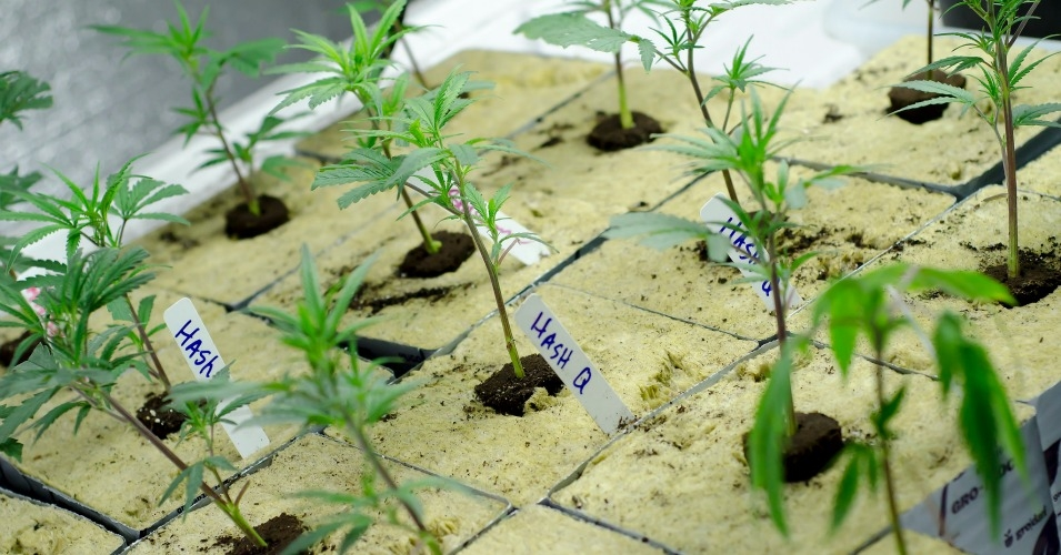 A marijuana grow in Colorado, which voted to legalize the drug in 2012. (Photo: Brett Levin/cc/flickr)