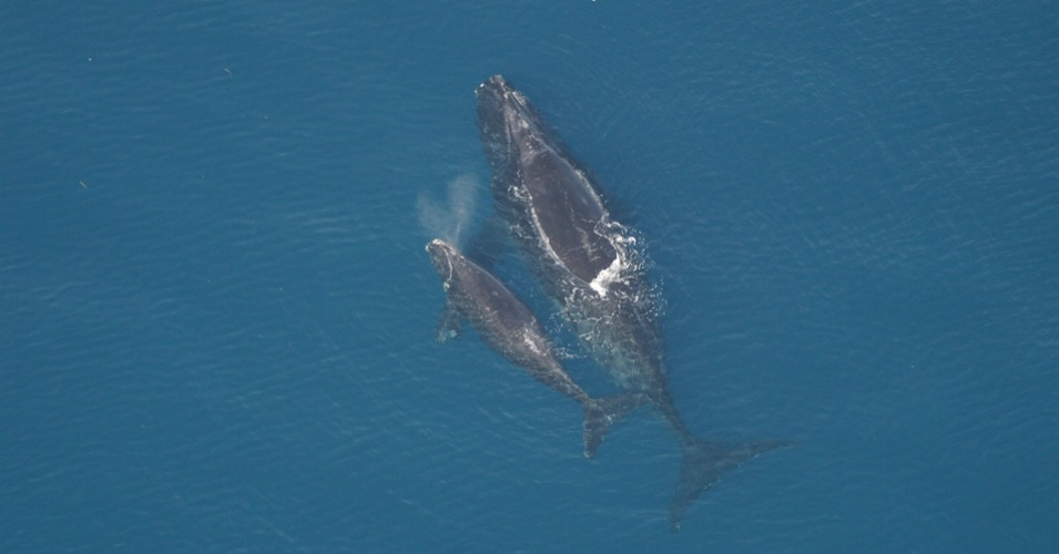 North Atlantic right whales. (Photo: Florida Fish and Wildlife Conservation Commission, NOAA Research Permit # 665-1652)